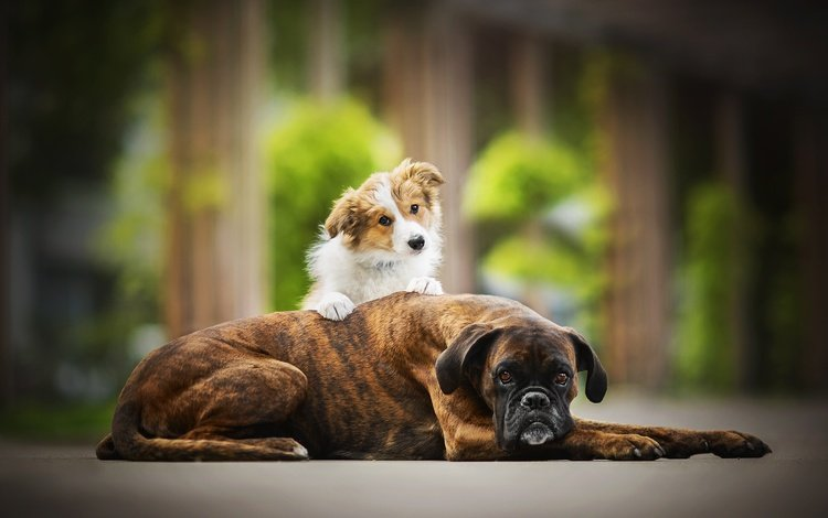 друзья, собаки, боксер, в солнечной, бордер-колли, две собаки, tini, friends, dogs, boxer, sunny, the border collie, two dogs