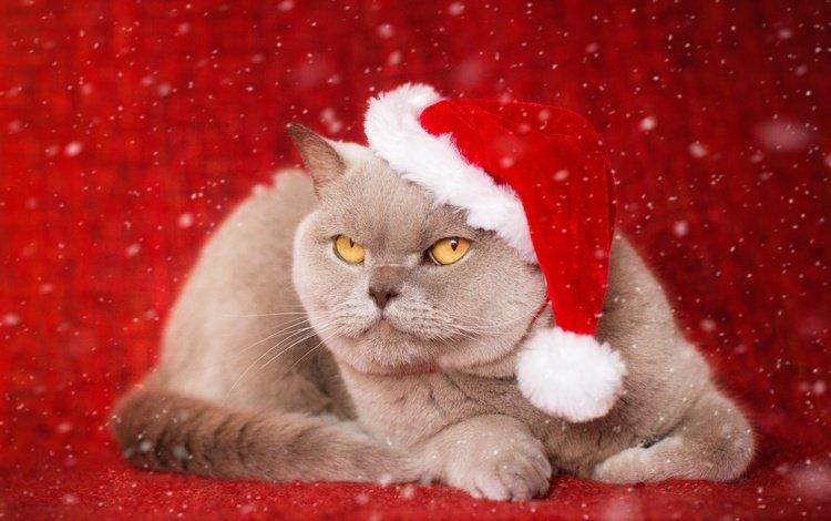 новый год, фон, кот, мордочка, усы, кошка, взгляд, колпак, британская короткошерстная кошка, british shorthair, new year, background, cat, muzzle, mustache, look, cap