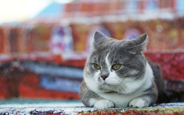 фон, кот, мордочка, усы, кошка, взгляд, лежит, background, cat, muzzle, mustache, look, lies