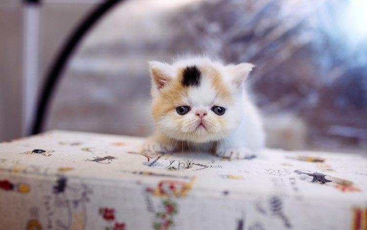фон, кот, мордочка, кошка, котенок, маленький, стол, скатерть, background, cat, muzzle, kitty, small, table, tablecloth