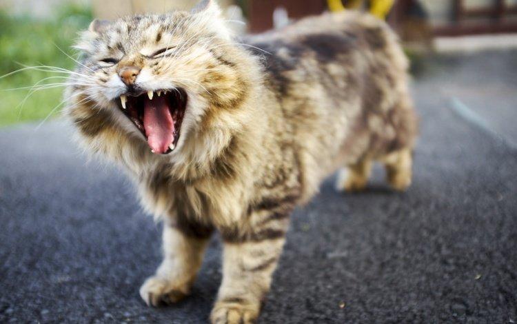 background, cat, muzzle, mustache, look, language, yawns