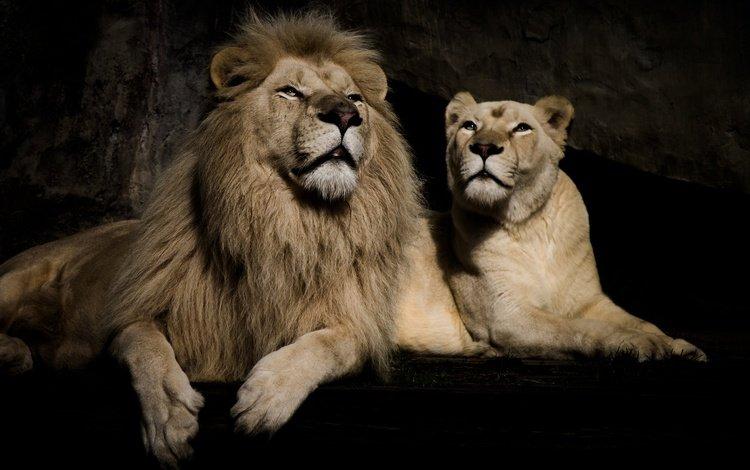 фон, черный фон, пара, отдых, львы, лев, львица, background, black background, pair, stay, lions, leo, lioness