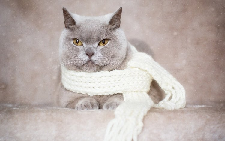 background, portrait, cat, muzzle, mustache, look, scarf, british shorthair