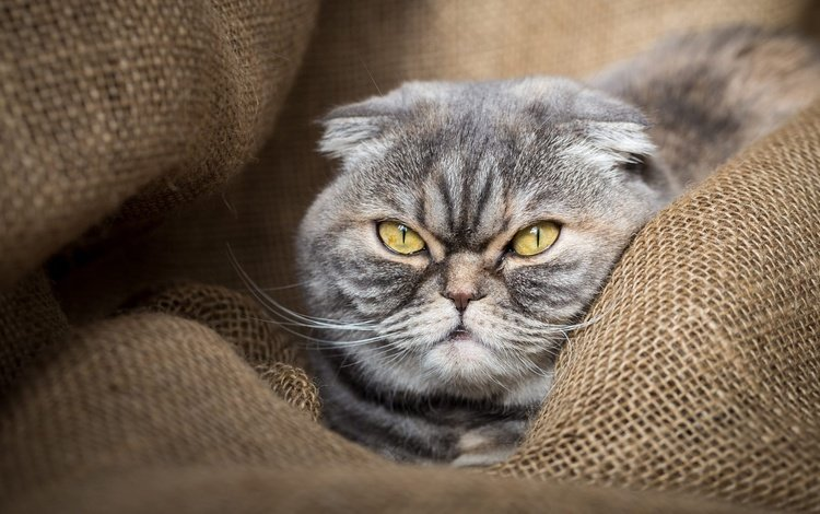 eyes, face, background, portrait, cat, burlap, scottish, fold, scottish fold