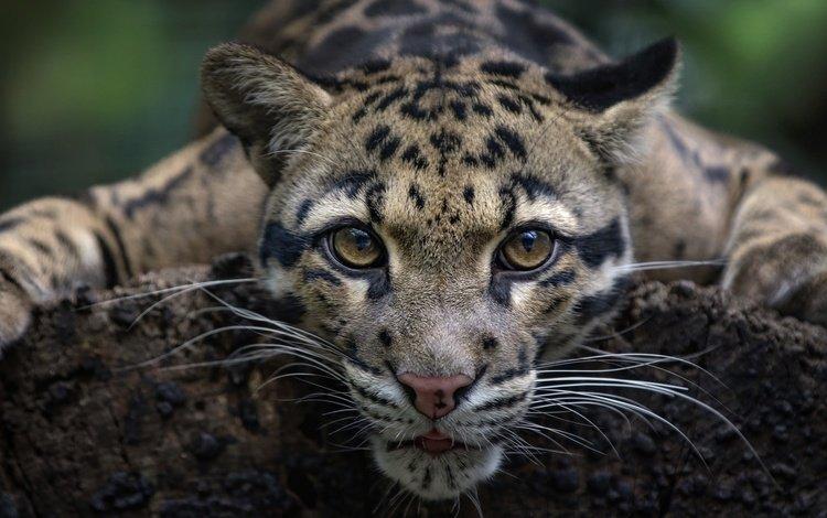 глаза, мордочка, усы, взгляд, дикая кошка, дымчатый леопард, eyes, muzzle, mustache, look, wild cat, clouded leopard