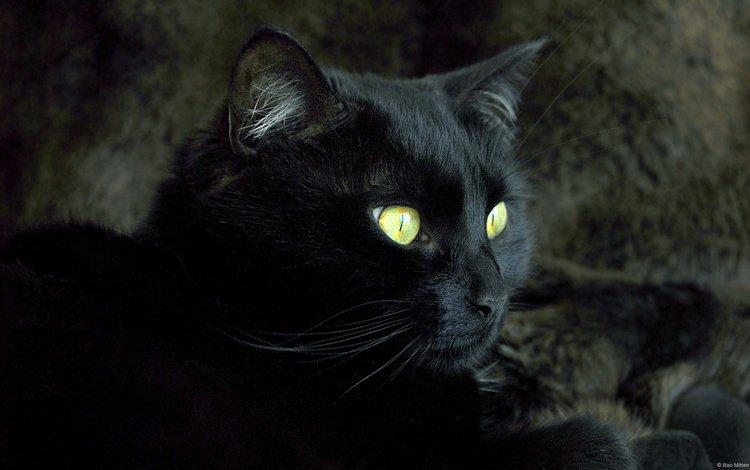 кот, мордочка, усы, кошка, взгляд, черный, cat, muzzle, mustache, look, black