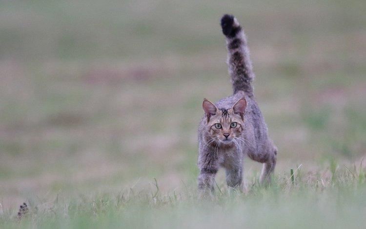 трава, кот, мордочка, усы, кошка, взгляд, боке, grass, cat, muzzle, mustache, look, bokeh