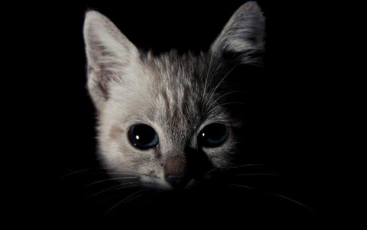 кот, кошка, взгляд, котенок, мордашка, темнота, голубые глаза, cat, look, kitty, face, darkness, blue eyes