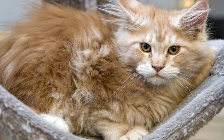 cat, muzzle, mustache, look, kitty, red, maine coon