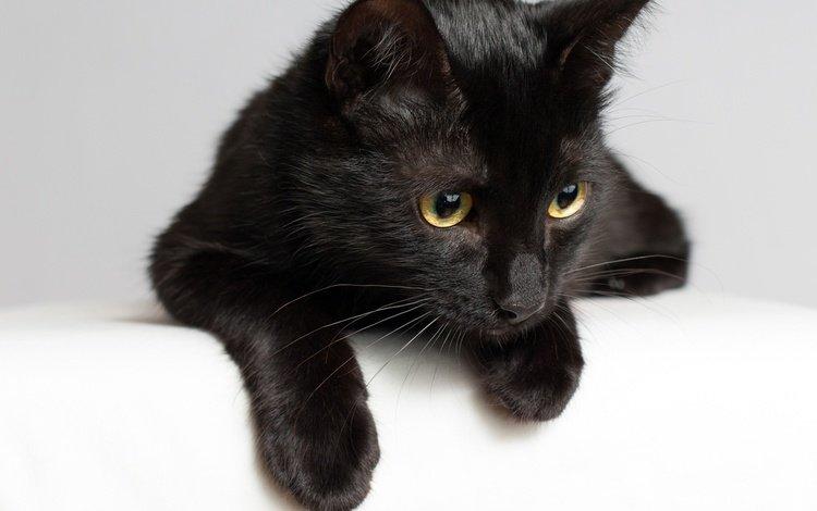 кот, мордочка, усы, кошка, взгляд, черная, cat, muzzle, mustache, look, black