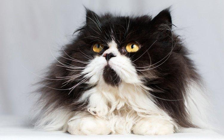 кот, мордочка, усы, кошка, взгляд, пушистая, cat, muzzle, mustache, look, fluffy