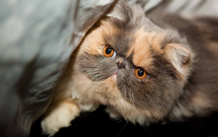cat, muzzle, mustache, look, pers