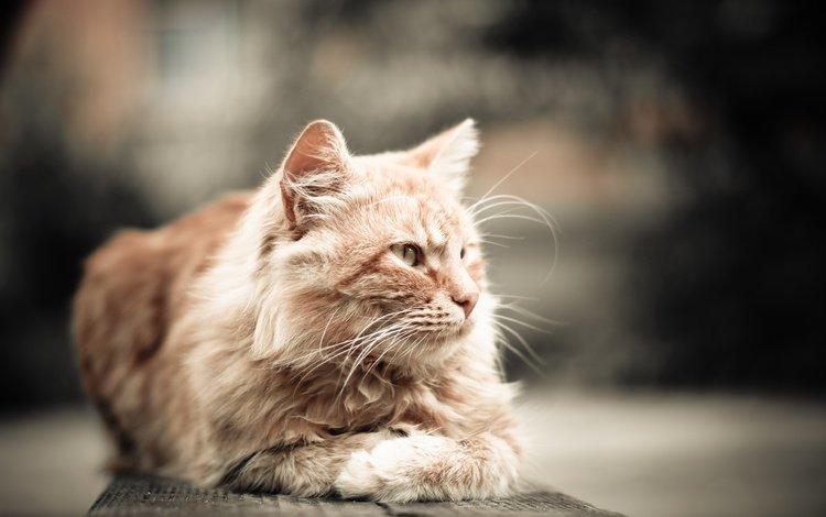 кот, мордочка, усы, кошка, взгляд, рыжий, cat, muzzle, mustache, look, red