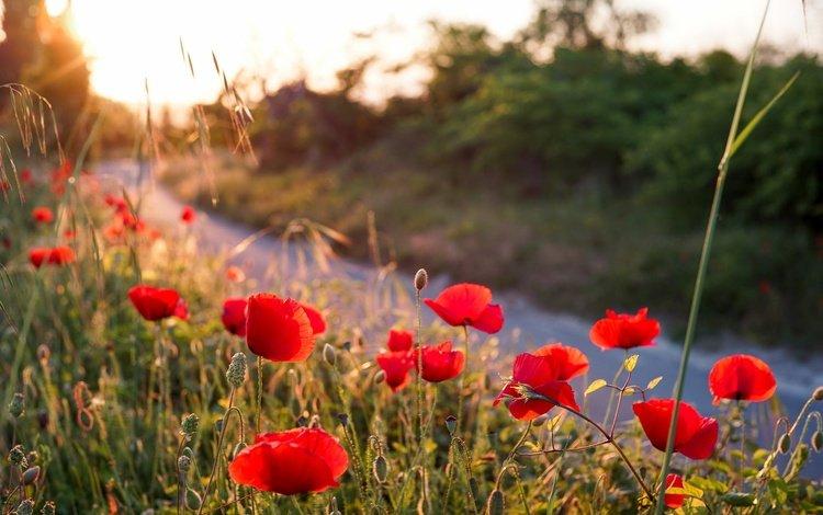цветы, лето, лепестки, красные, маки, стебли, flowers, summer, petals, red, maki, stems