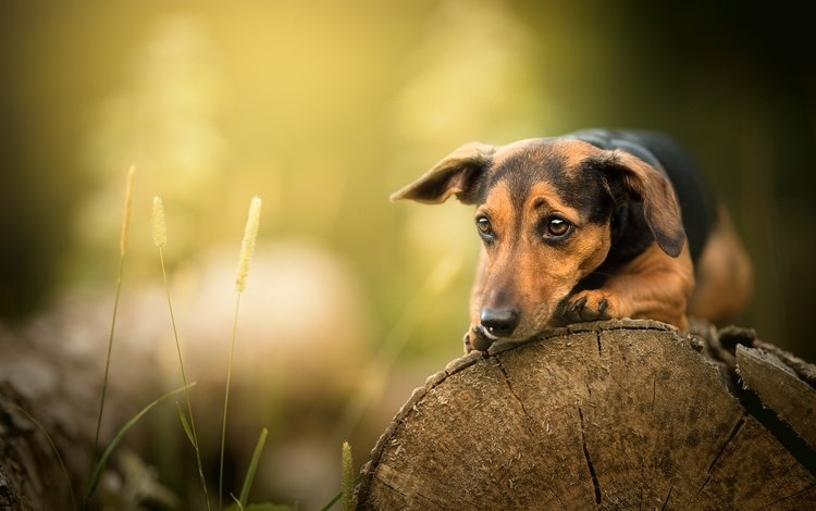 природа, лето, собака, nature, summer, dog
