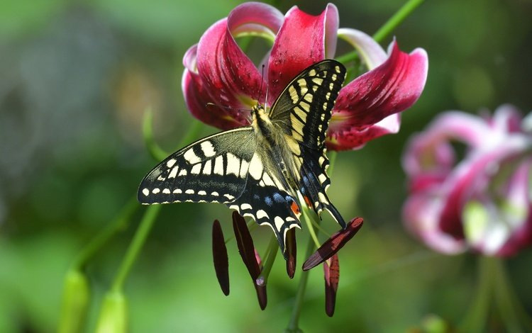 macro, insect, flower, butterfly, stamens, lily, bokeh, swallowtail