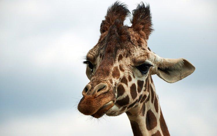 морда, небо, животные, африка, жираф, face, the sky, animals, africa, giraffe
