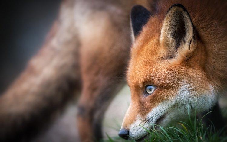морда, трава, лиса, профиль, лисица, животное, face, grass, fox, profile, animal