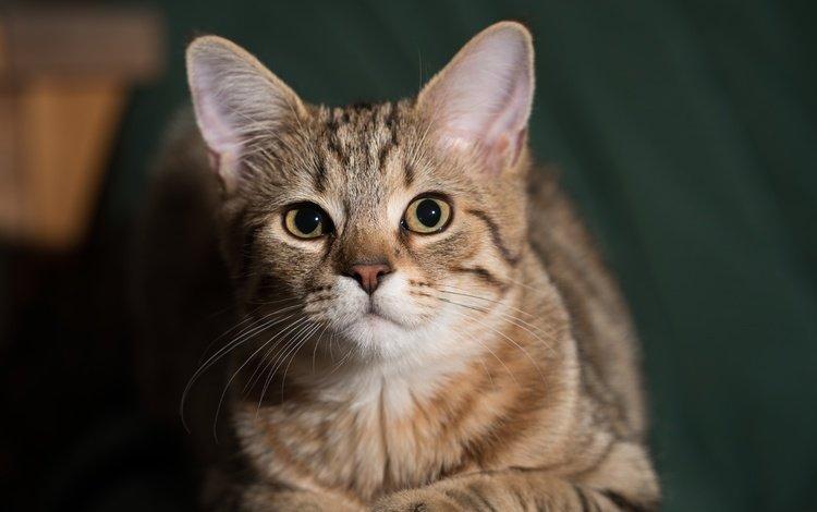 кот, мордочка, усы, кошка, взгляд, cat, muzzle, mustache, look