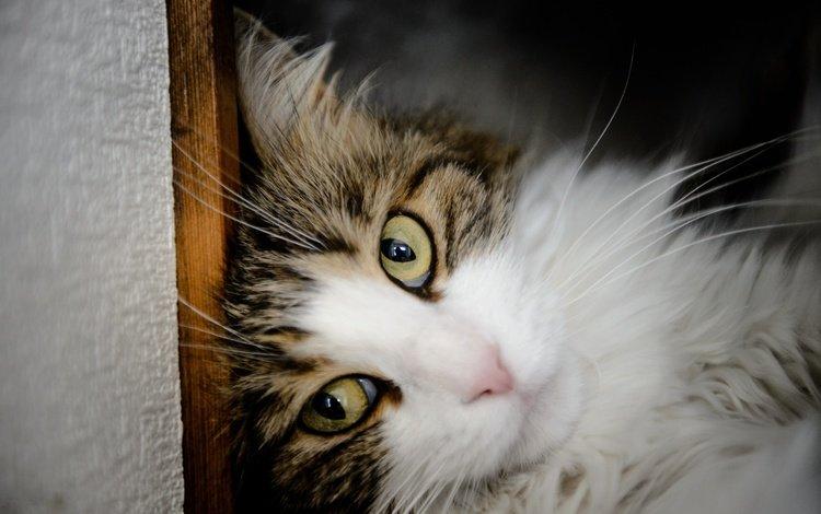portrait, cat, muzzle, mustache, look