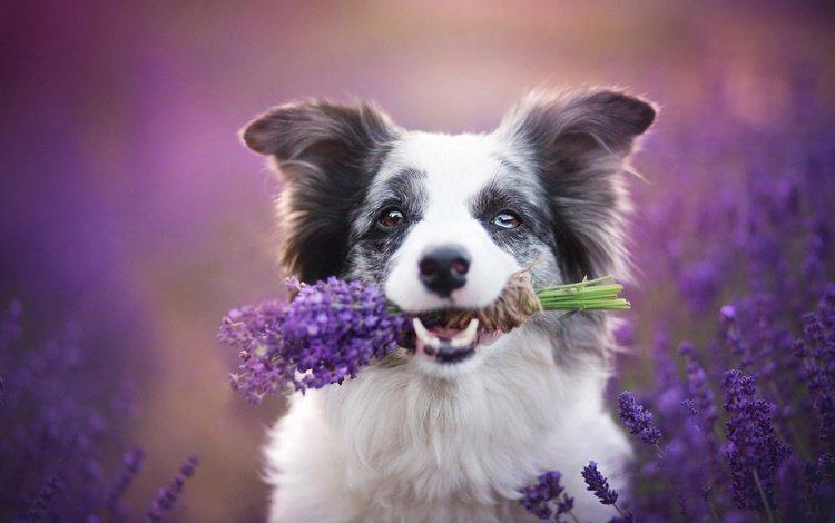 природа, alicja zmysłowska, лаванда, собака, щенок, букет, животное, травы, бордер-колли, nature, lavender, dog, puppy, bouquet, animal, grass, the border collie
