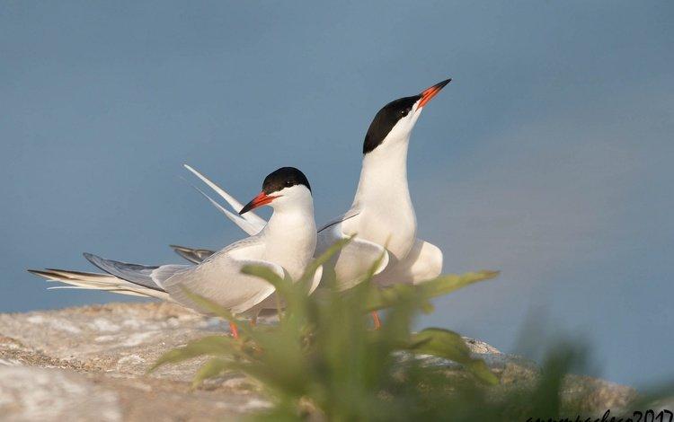 the sky, birds, beak, pair, legs, arctic tern, tern