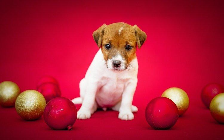 шары, фон, шерсть, собака, праздник, красный фон, джек-рассел-терьер, balls, background, wool, dog, holiday, red background, jack russell terrier