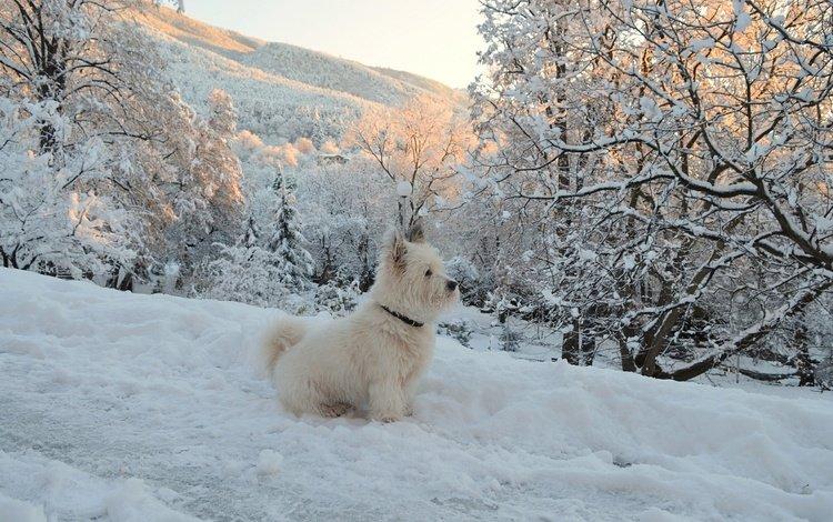 деревья, собачка, вест-хайленд-уайт-терьер, снег, зима, мордочка, ветки, взгляд, собака, щенок, trees, the west highland white terrier, snow, winter, muzzle, branches, look, dog, puppy