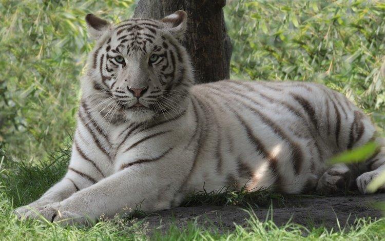 тигр, морда, трава, взгляд, хищник, дикая кошка, белый тигр, tiger, face, grass, look, predator, wild cat, white tiger