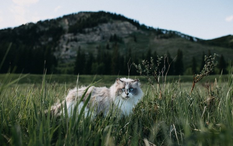 grass, nature, cat, muzzle, look, fluffy, blue eyes
