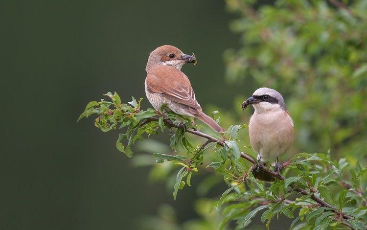 branch, birds, beak, pair, feathers, bokeh, red-backed shrike, shrike