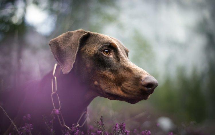 цветы, мордочка, взгляд, собака, профиль, nicole trenker fotografie, orellux, flowers, muzzle, look, dog, profile