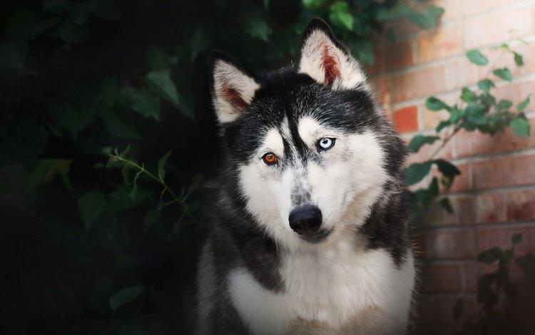 мордочка, взгляд, собака, хаски, разные глаза, сибирский хаски, muzzle, look, dog, husky, different eyes, siberian husky