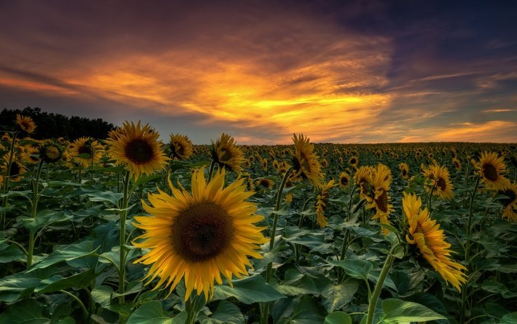 the sky, flowers, clouds, leaves, sunset, horizon, summer, petals, sunflowers, stems