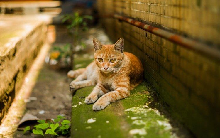 зелень, кирпичи, кот, желтые глаза, мордочка, усы, кошка, взгляд, стена, лежит, рыжий, red, greens, bricks, cat, yellow eyes, muzzle, mustache, look, wall, lies