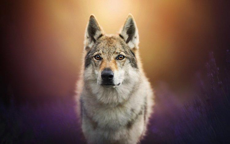 мордочка, лаванда, взгляд, собака, пес, боке, чехословацкая волчья собака, чехословацкий влчак, muzzle, lavender, look, dog, bokeh, the czechoslovakian wolfdog, czechoslovakian, wolfdog
