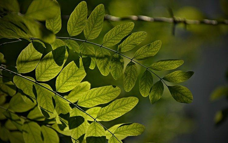 листья, макро, ветки, зеленые листья, leaves, macro, branches, green leaves