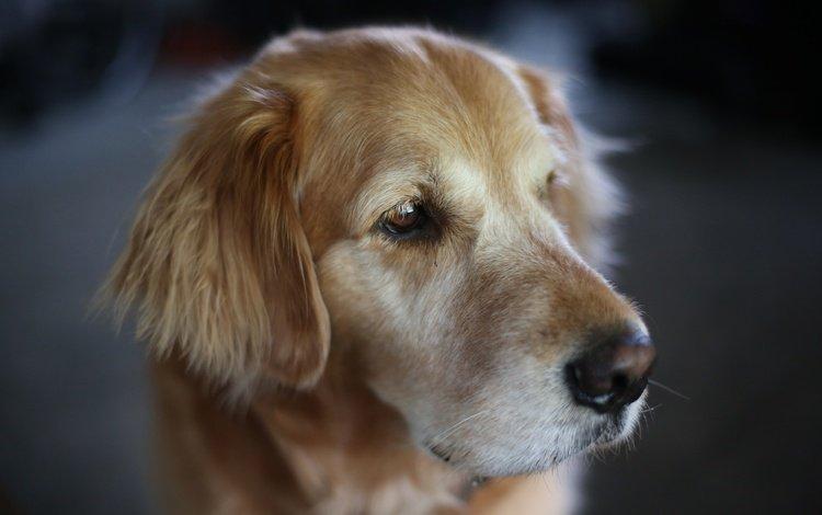 макро, мордочка, взгляд, собака, пес, золотистый ретривер, голден ретривер, macro, muzzle, look, dog, golden retriever