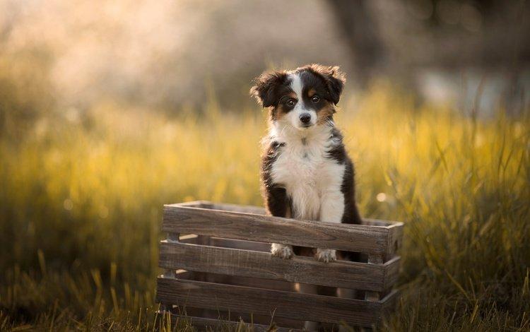 свет, щенок, трава, ящик, природа, лучи, мордочка, лето, взгляд, собака, light, puppy, grass, box, nature, rays, muzzle, summer, look, dog