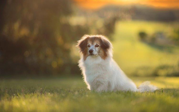 трава, боке, природа, папильон, фон, папийон, лето, взгляд, собака, поляна, щенок, grass, bokeh, nature, papillon, background, summer, look, dog, glade, puppy