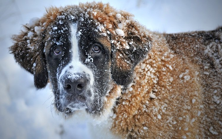 морда, снег, зима, взгляд, собака, сенбернар, face, snow, winter, look, dog, st. bernard