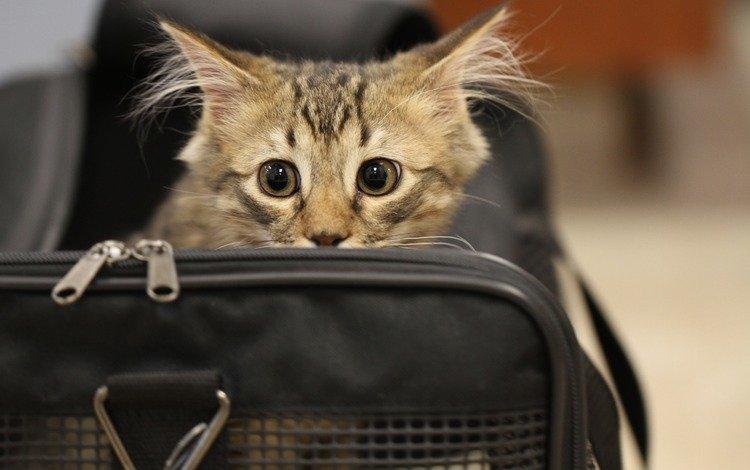 кот, мордочка, усы, кошка, взгляд, милая, сумка, gbth u., cat, muzzle, mustache, look, sweetheart, bag