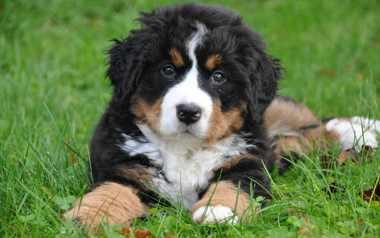 собака, щенок, бернский зенненхунд, dog, puppy, bernese mountain dog