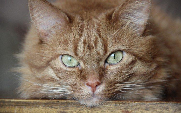 кот, мордочка, усы, кошка, взгляд, рыжий, зеленые глаза, cat, muzzle, mustache, look, red, green eyes