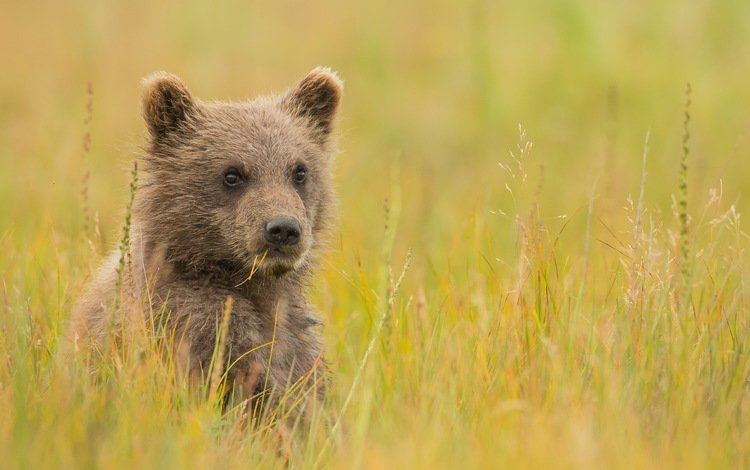 трава, взгляд, медведь, луг, детеныш, медвежонок, grass, look, bear, meadow, cub