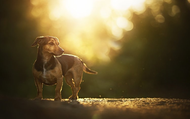 дорога, закат солнца, блики, такса, собачка, боке, road, sunset, glare, dachshund, dog, bokeh