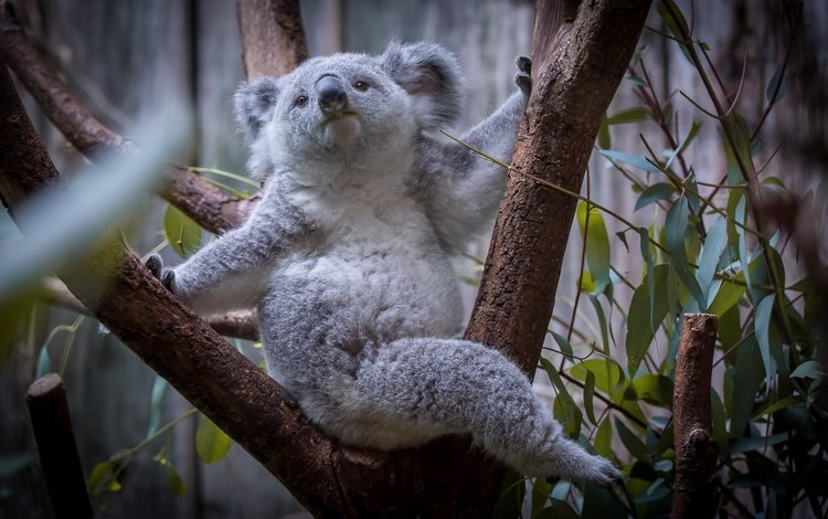 дерево, листья, мордочка, взгляд, коала, tree, leaves, muzzle, look, koala