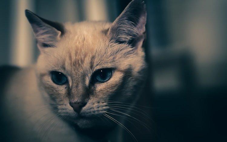 фон, кот, мордочка, усы, кошка, взгляд, background, cat, muzzle, mustache, look