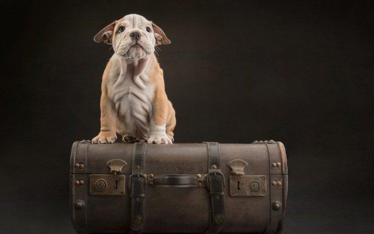 фон, мордочка, взгляд, собака, щенок, чемодан, background, muzzle, look, dog, puppy, suitcase