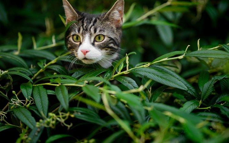 листья, кот, мордочка, усы, ветки, кошка, взгляд, котенок, leaves, cat, muzzle, mustache, branches, look, kitty